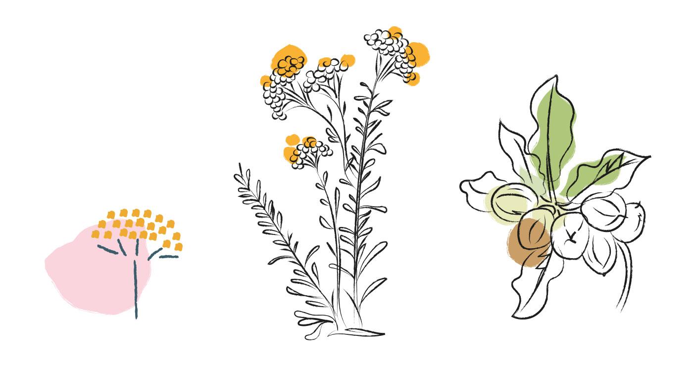 illustration-alexia-cambournac-plantes-occitane-12