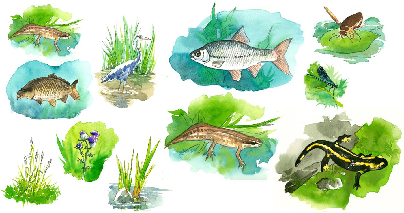 illustration-yves-perron-aquarelle-animaux-marais